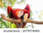 Scarlett Macaw Bird Parrot...