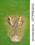 Small photo of Hungry crocodile is swimming through a green pond filled with other crocodiles.