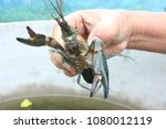 Red Claw Crayfish.