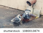 Small photo of Pigeons take spring baths, bathe in a drain.