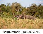 giant anteater in pantanal | Shutterstock . vector #1080077648
