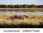 giant anteater in pantanal | Shutterstock . vector #1080077660