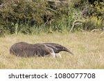 giant anteater in pantanal | Shutterstock . vector #1080077708