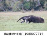 giant anteater in pantanal | Shutterstock . vector #1080077714