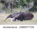 giant anteater in pantanal | Shutterstock . vector #1080077720
