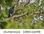 hyacinth macaw on a palm tree...   Shutterstock . vector #1080116498