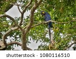 hyacinth macaw on a palm tree...   Shutterstock . vector #1080116510