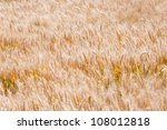 background texture of a corn field partly with motion blur from the wind - stock photo