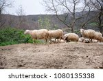 group of sheep on the hill | Shutterstock . vector #1080135338