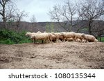 group of sheep on teh hill | Shutterstock . vector #1080135344