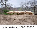 group of sheep on the hill | Shutterstock . vector #1080135350