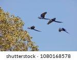 hyacinth macaw in brasil... | Shutterstock . vector #1080168578