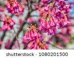 pink cherry blossom sakura...   Shutterstock . vector #1080201500