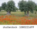 Olive Trees In A Blooming...