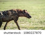 hyena bares its teeth | Shutterstock . vector #1080227870