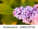 lilac flowers on a tree in... | Shutterstock . vector #1080270728