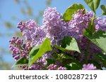 part of light purple lilac bush ...   Shutterstock . vector #1080287219