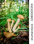 honey agaric mushrooms. ... | Shutterstock . vector #1080305354
