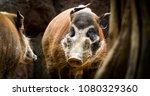 Warthog  Red River Hog