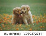 puppy dog golden retriever on...   Shutterstock . vector #1080372164