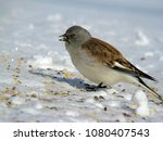 white winged snowfinch ... | Shutterstock . vector #1080407543