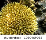 Small photo of Reef acropora coral underwater in Ras Mohammed, Egypt, Red Sea