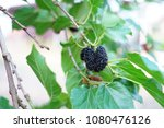 mulberry on tree  | Shutterstock . vector #1080476126