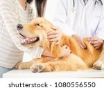 Stock photo veterinarian checking the dog golden retriever in pet clinic hospital 1080556550