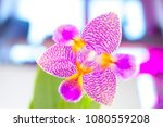 beautiful rare orchid in a pot... | Shutterstock . vector #1080559208