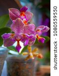 beautiful orchid in a pot on... | Shutterstock . vector #1080559550
