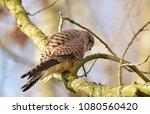 female european kestrel...   Shutterstock . vector #1080560420