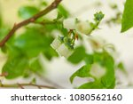 blooming blueberry in spring on ... | Shutterstock . vector #1080562160
