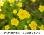 Small photo of Buttercup (Ranunculaceae) blooming yellow flowers