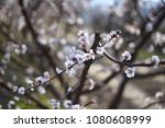 peach flower  | Shutterstock . vector #1080608999