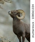 California Bighorn Ram ...