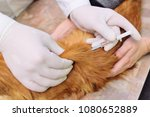 Stock photo red fluffy cat on examination in a veterinary clinic analysis of blood in the animals 1080652889