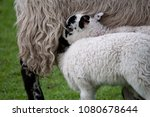 two lambs trying to suckle from ... | Shutterstock . vector #1080678644