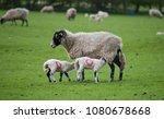 lambs suckling from their... | Shutterstock . vector #1080678668