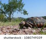 desert tortoise in the sonora... | Shutterstock . vector #1080749339