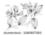vanilla flower drawing... | Shutterstock .eps vector #1080807383