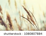 wild grasses in a field at... | Shutterstock . vector #1080807884