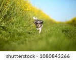 Stock photo very cute and funny bichon havanese dog with summer haircut running through a rape field on a 1080843266