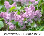 purple lilac bush blooming. the ... | Shutterstock . vector #1080851519