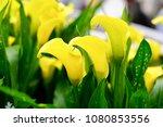 Capture Of Yellow Zantedeschia...