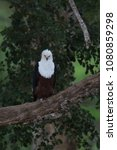 Small photo of African fish eagle perched on a tree, South Africa, Kruger National Park