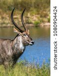 Small photo of Common waterbuck in Kruger national park, South Africa ; Specie Kobus ellipsiprymnus family of Bovidae