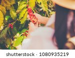 woman hand pick coffee seeds... | Shutterstock . vector #1080935219