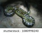 yellow anaconda  eunectes... | Shutterstock . vector #1080998240