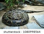 burmese python  python... | Shutterstock . vector #1080998564