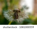bald dandelion with colorful...   Shutterstock . vector #1081000559
